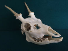 Complete Fallow Deer skull, with yearling Antler growth - Dama dama - 24cm