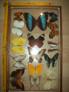 Butterflies - see-through glass wall cases - various species - 40 x 25 cm and 19 x 19 cm (2)