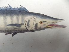 Francis Willughby (1635-1672); John Ray - King Mackerel - 1686