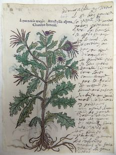 2 botanical prints by Leonhard Fuchs [1501 - 1566] - Distaff Thistle, [Atractylis]; Angelica - With manuscript descriptions - 1549