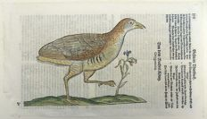 Conrad Gesner (1516-1565) - One leaf with large woodcut - Ornithology: Waterbird, Plover - 1669