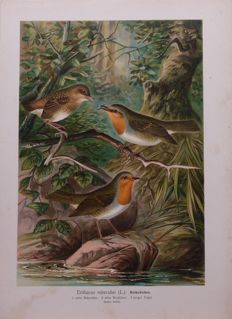 23 ornithological lithographs of mostly thrushes, blackbirds and sparrows - all from the hand of Bruno Geisler (1857-1945)