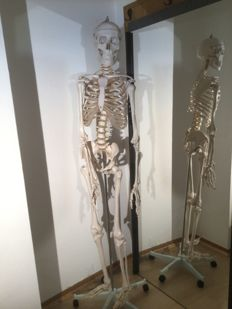 Anatomy Model - human - skeleton in very good condition - Size: 180 cm Plastic tripod, around 1970