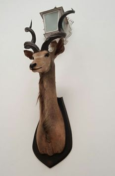 Taxidermy - fine, large Greater Kudu shoulder-mount, on hardwood shield - Tragelaphus strepsiceros - 1.80m
