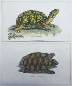2 x George Shaw (1751-1813) - Close Tortoise; Tabular Tortoise - fine hand colour - 1804