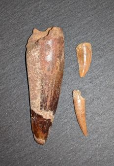 fossil set (Spinosaurus tooth , Raptor tooth  and  Pterosaurid tooth  - 67  and 21  and  27 mm (3)