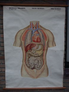 Old Anatomy school map with abdominal and chest cavity