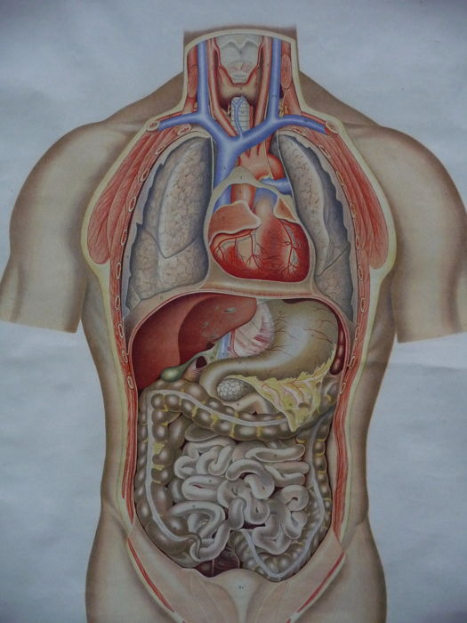 Old Anatomy School Map With Abdominal And Chest Cavity Catawiki