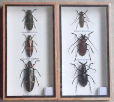 Longhorn and Jewel Beetles in fine display cases - 23 x 12,5 cm  (2)