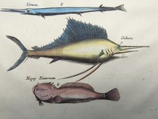 Matthäus Merian ( 1621 –1687) - hand colored copper engraving - Fish: Tropical Amazonian Fish, Swordfish, Weeverfish Punaru Gubucu Timucu Fish - 1657