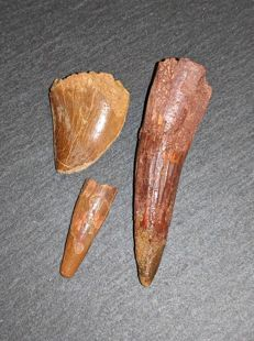 Fossil set (Spinosaurus tooth / Charcharodontosaurus tooth  and Pterosaurid tooth  - 55 and  28 and 24 mm (3)