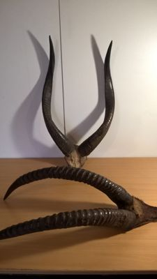 Vintage Nyala and Roan Antelope horns on part skulls - Tragelaphus angasii and Hippotragus equinus - 65 x 36cm and 68 x 28cm  (2)
