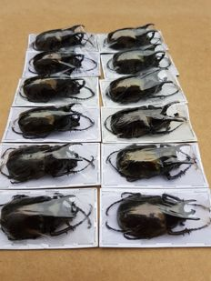 Collection of preserved Atlas Beetles - Chalcosoma atlas - 6.5cm  (12)