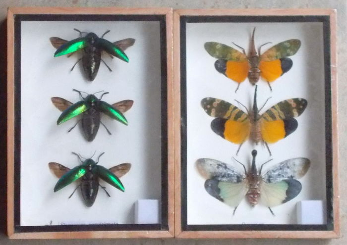 Collection of Lantern Flies and Jewel Beetles - various species - 17,5 x 12,5cm  (2)