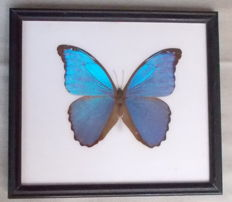 Morpho Didius in a black wooden frame - 22,5 x 19,5cm