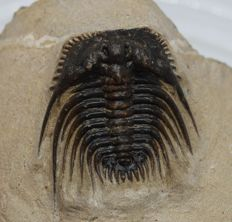 Trilobite Kettneraspis sp. - 3.1 cm without the tips - 3D preparation of the eyes - quite flat - short spine on the head