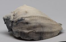 Large size fossil shell Melongena consors taurus - 17.5 cm - 0.550 kg - Top quality