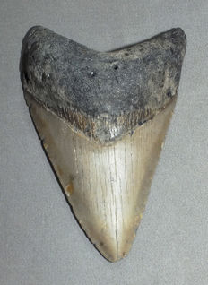 Fossil shark tooth - Carcharocles megalodon - 9,4 cm
