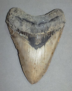 Nice shark tooth from a Carcharocles megalodon - 13,2 cm