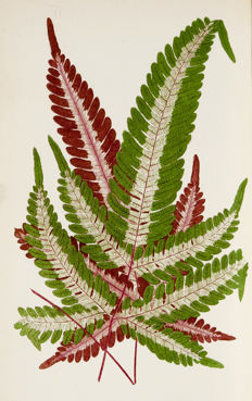 E. J. Lowe.; Assisted By W. Howard - Beautiful Leaved Plants being a Description of the Most Beautiful Leaved Plants in Cultivation in this Country; to which is added an Extended Catalogue. With sixty coloured illustrations. - 1861