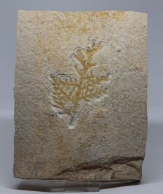 Exceptional fossil plant Paleocyparis - plate measuring 19 x 15 cm - well centred - 1.4 kg