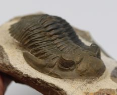 Stunning trilobite fossile in green and black - Hollardops mesocristata (Le Maître, 1952) - 6.2 cm - Beautiful eyes - Two colours