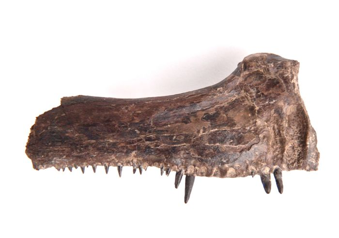 Upper jaw of fossil fish - Xiphactinus audax - 16 cm