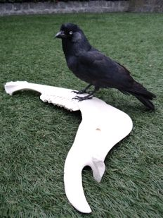 Fine taxidermy - Eurasian Jackdaw, mounted on jaw bone - Corvus monedula - 45 x 30 x 20cm