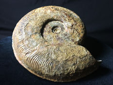 Large Harpoceras falciferum ammonite fossil - 25 cm