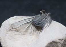 Trilobite Kettneraspis spinicurva - 2.1 cm without the tips - 3D prep - Top quality