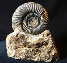 Parkinsonia sp. Ammonite - 14 cm