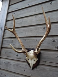 Taxidermy - Sika Stag Antlers on part skull - Cervus nippon - 37 x 52 x 23cm