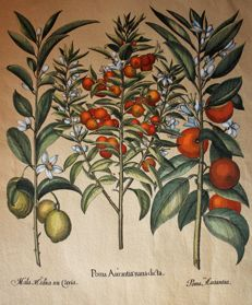 Basil Besler (1561-1629) after Hortus Eystettensis (Nuremberg) 1613 - Colour engraving - Oranges de Seville - Very good condition