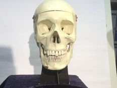 Model of human skull made of plastic in excellent condition - 20 cm x 20 cm. Medical study object. circa 1990