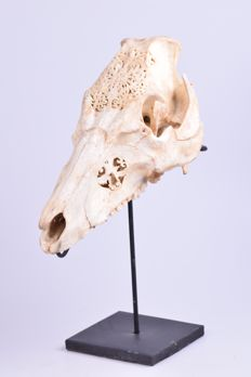 Hand-carved Boar skull on stand - Suidae sp. - 32 x 19cm