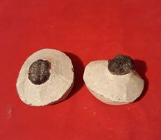 Two trilobites - Proetus - Phacops sp - 23 mm x 55 mm ( 2 )