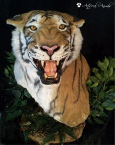 Striking, perfect replica - life-sized Bengal Tiger on pedestal - 90cm
