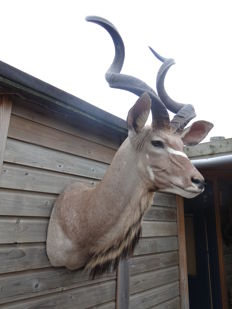 Taxidermy - Greater Kudu fine shoulder-mount - Tragelaphus eurycerus - 150 x 85 x 65cm