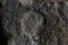 Set of copies of Ediacaran fossils - Kimberella, 2 x Dickinsonia