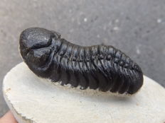 Fossil Trilobite - Phacops rana africana - 60 x 26 mm