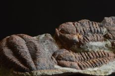 Three trilobites in matrix  Bailiella sp. -- 180 x 53 x 35 mm