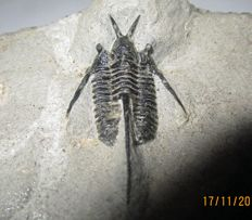 Fossil trilobite Cyphasis tafilalet - 37 x 16 mm