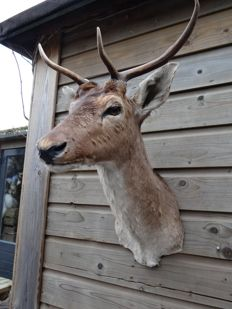 Taxidermy - young Fallow Buck mount - Dama dama - 40 x 50 x 75cm