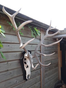 Extra large Royal Stag - Red Deer skull with 12-point antlers - with Bronze Medal Award, on hardwood shield - Cervus elaphus - 105 x 50 x 110cm
