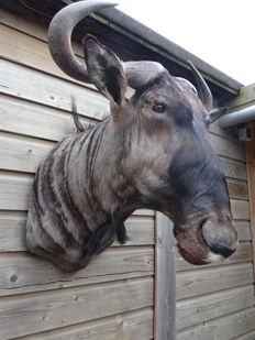 Taxidermy - Blue Wildebeest shoulder-mount - Connochaetes taurinus - 65 x 75 x 65cm