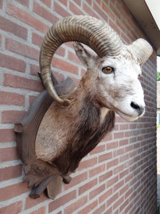 Vintage taxidermy - fine quality Mouflon shoulder-mount - Ovis musimon - 45 x 45 x 65cm