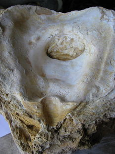 Very Large Oyster Fossil - Crassostrea Sp. - 26 x 21 x 17 cm - 5.85 kg
