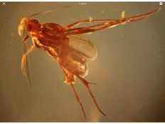 Baltic Amber Rare Fly laying Eggs 8,6 gram - Also curled ant inside