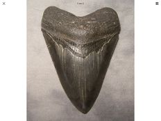 Very sharp serrated fossil shark tooth - C. megalodon - 9,5 cm (3,74 inches)