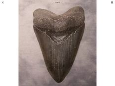 Very sharp serrated fossil shark tooth - C. megalodon - 12,1 cm (4,76 inches)